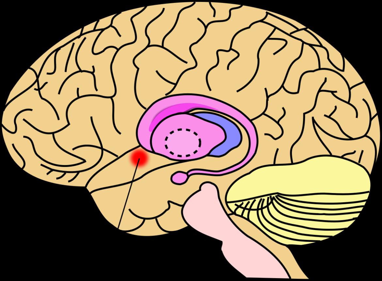 beloningscentrum brein dopamine vrijlating