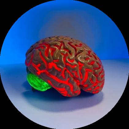 bloedtoevoer brein circadiaans ritme