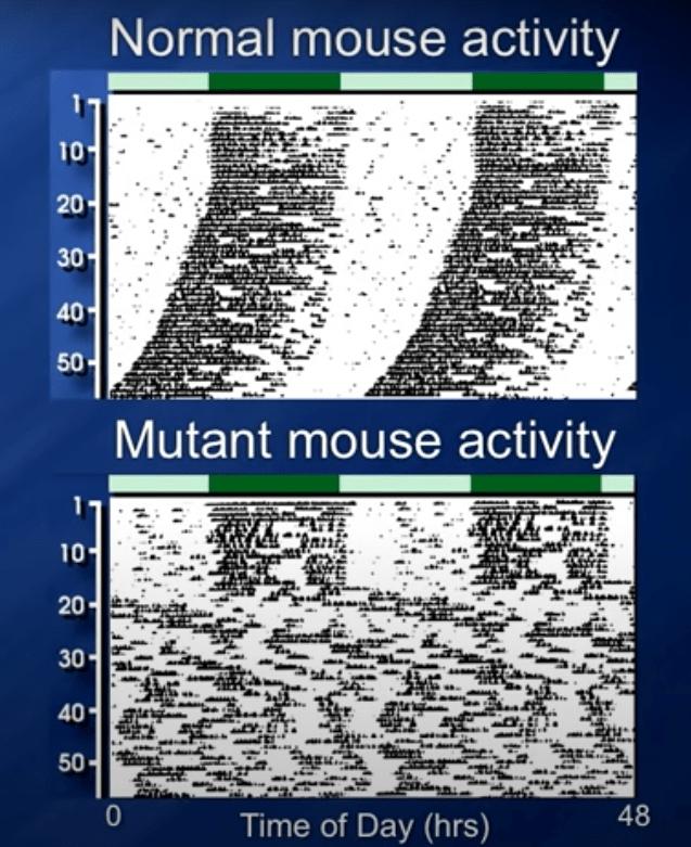 Circadiaans ritme activiteit muis