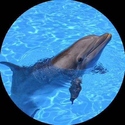 Dolfijn Chronotype