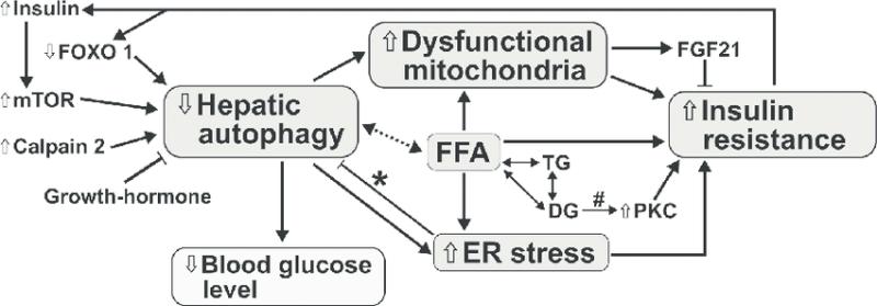 Autofagie en insulineresistentie