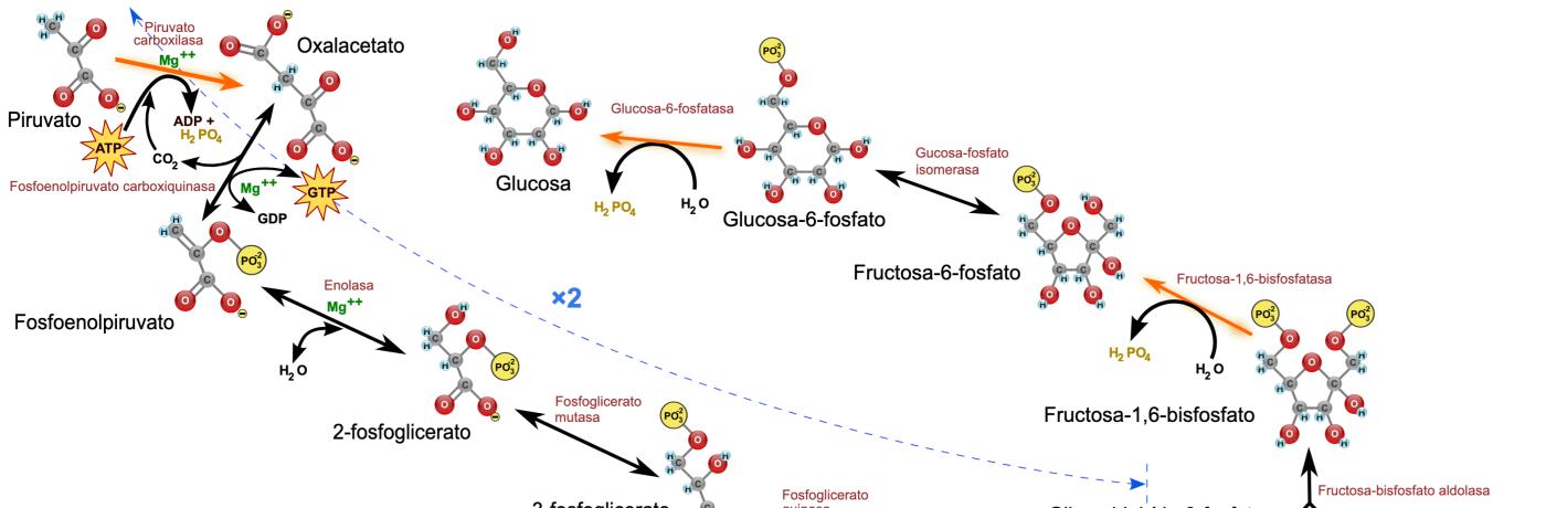 Gluconeogenese de werking en functie