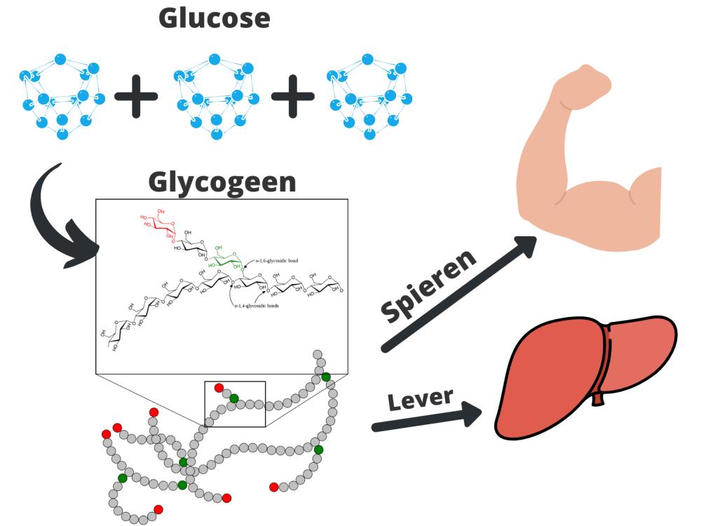 glycogeenvoorraad spieren lever