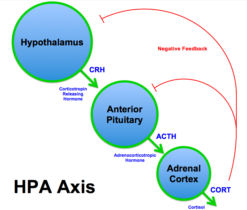 HPA-as stress invloed cafeine