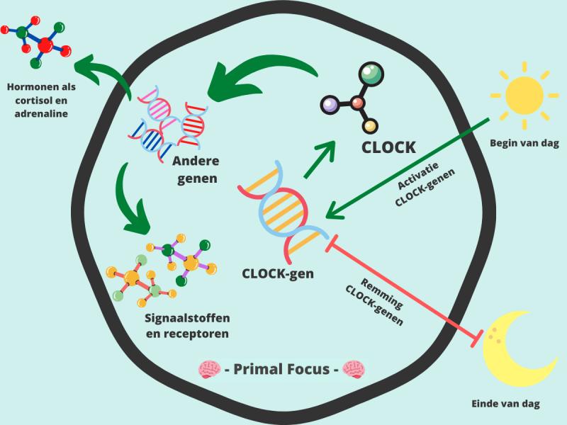 Circadiaans Ritme CLOCK-genen