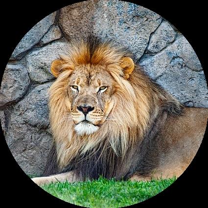 Leeuw chronotype