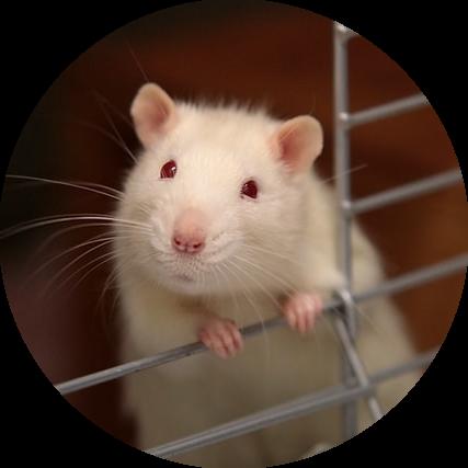 rat experimenten werking dopamine