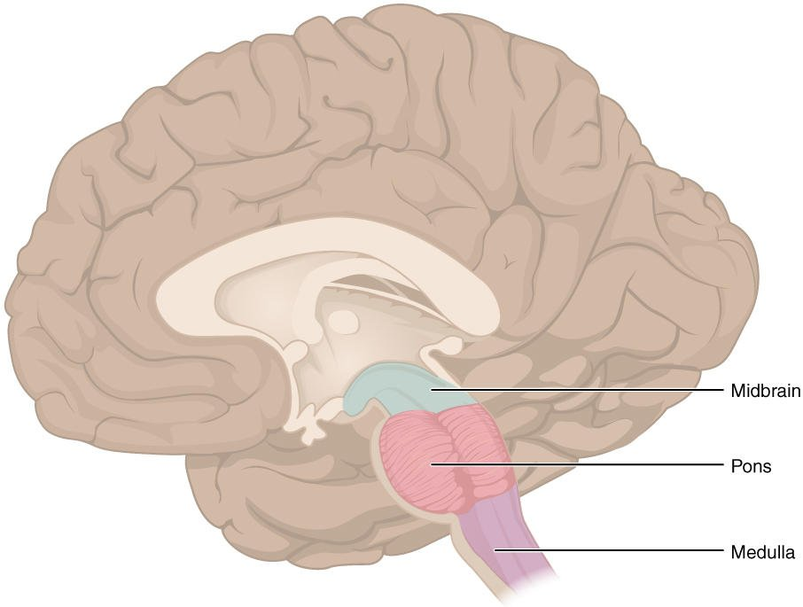 Aansturing slaap hersenstam