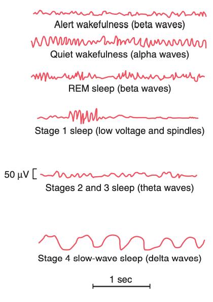 Slaapfases met typen hersengolven