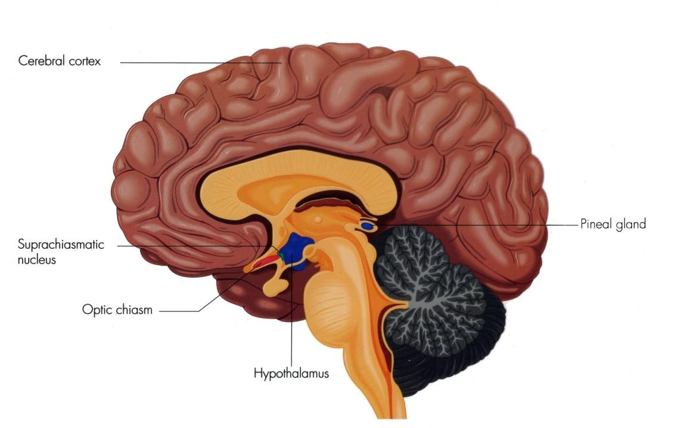 suprachiasmatische nucleus brein circadiaans ritme