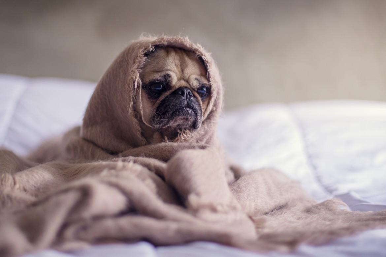 hond, hond in deken, cozy, warm, bescherming, afsluiten