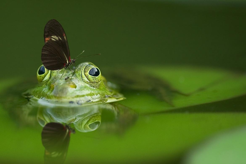 kikker, vlinder, groen, aarde, water, transformatie