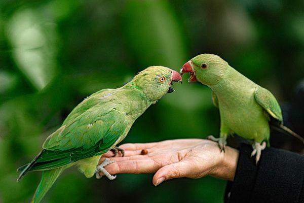 cursus papegaai opvoeden trainen