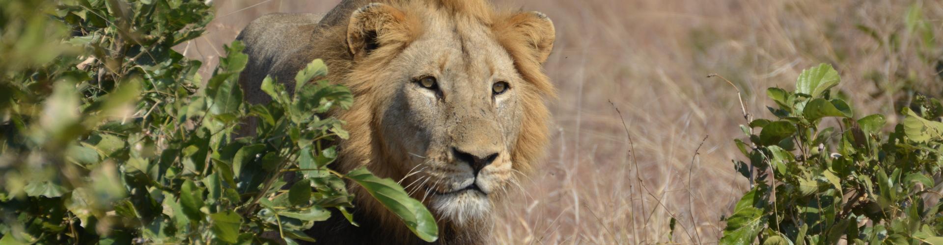 leeuw lower sabie