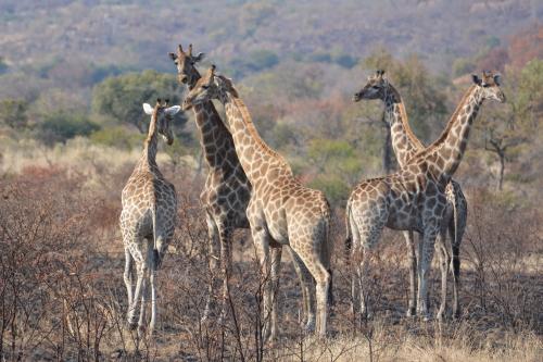 giraffen pilanesberg