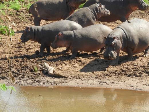 hippos kruger