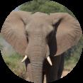 kruger olifant