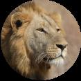 leeuw zuid-afrika