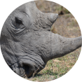 neushoorn close-up