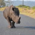 rhino om the road