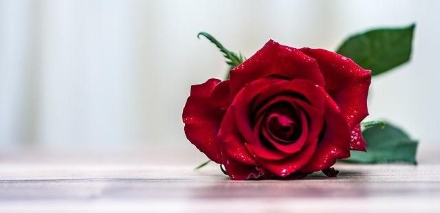 Valentijn roos, liefde is niets voor mij
