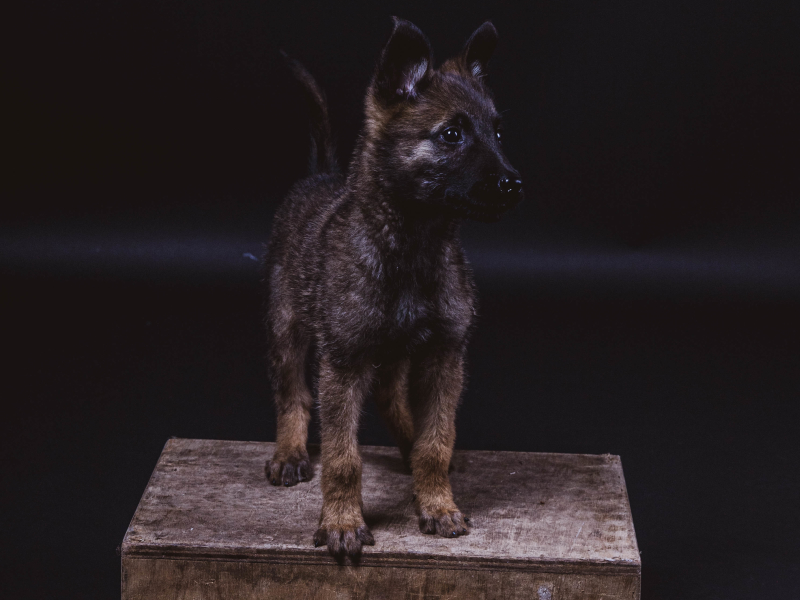Puppy fotoshoot socialbeards