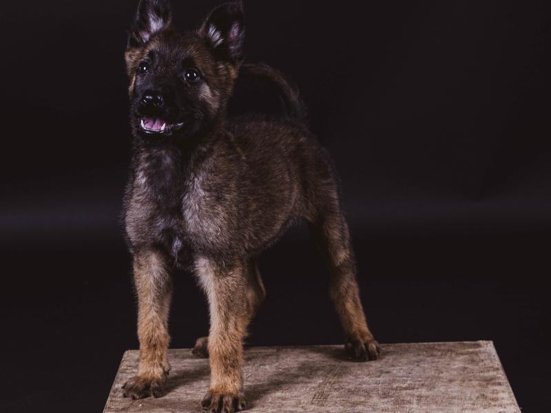 socialbeards Mechelse herder pup fotoshoot
