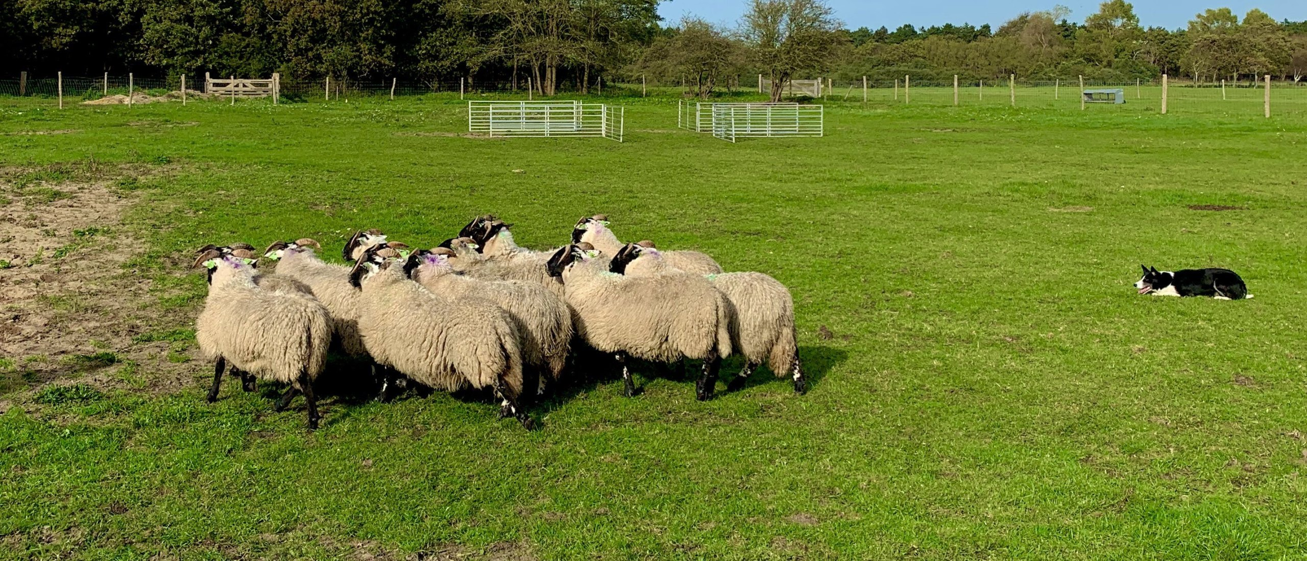 Artikel over schapendrijven voor wamiz.nl