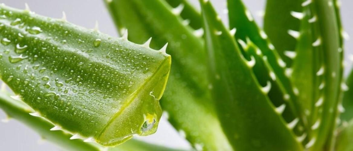 Mel de babosa: estimula o crescimento capilar, fortalece os fios, da brilho, maciez e diminui a queda