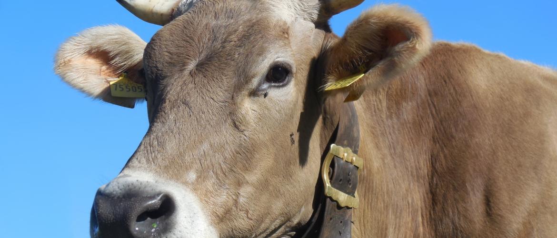 Iedere koe is een dier, dus ieder dier is een koe?