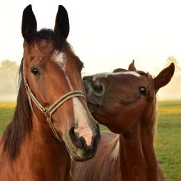 Sociaal contact tussen paarden belangrijk voor welzijn
