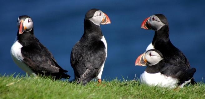Elke zomer komen de papegaaiduikers broeden op IJsland