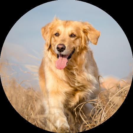 hondentraining voor volwassen en senior honden