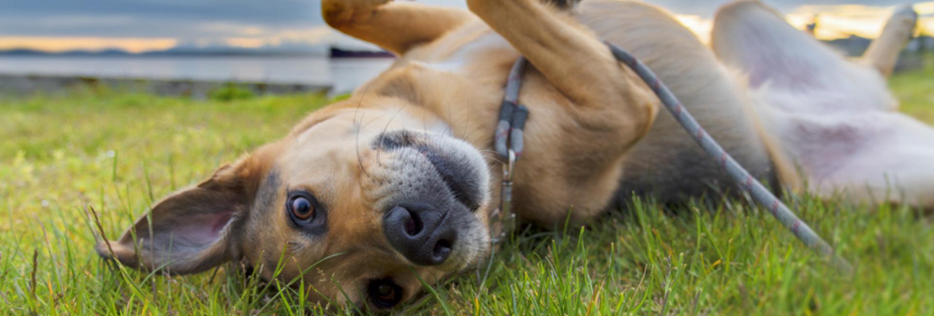 onlline hondentraining trekken aan de lijn