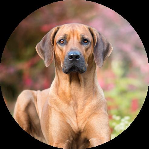 hond-is-waaks