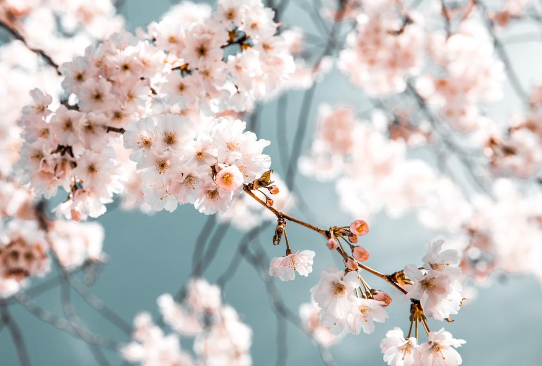 witroze lentebloesem tegen een blauwe lucht