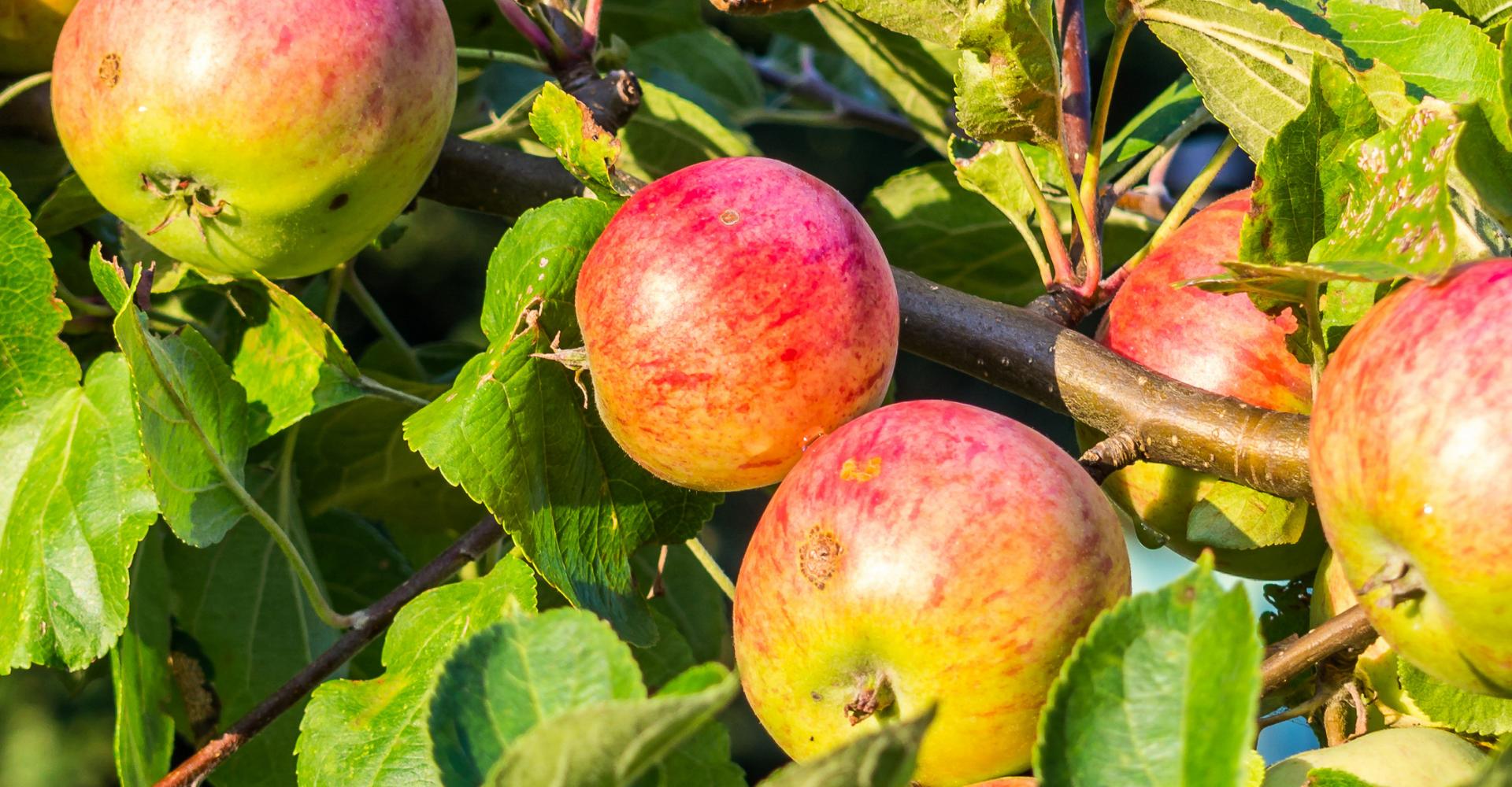 Foto met verse appels