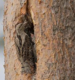Draaihals zeldzame vogel bij nest Veluwe