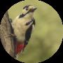 vogels spotten grote bonte specht spechtensafari