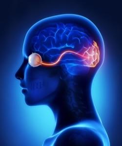 visuele cortex
