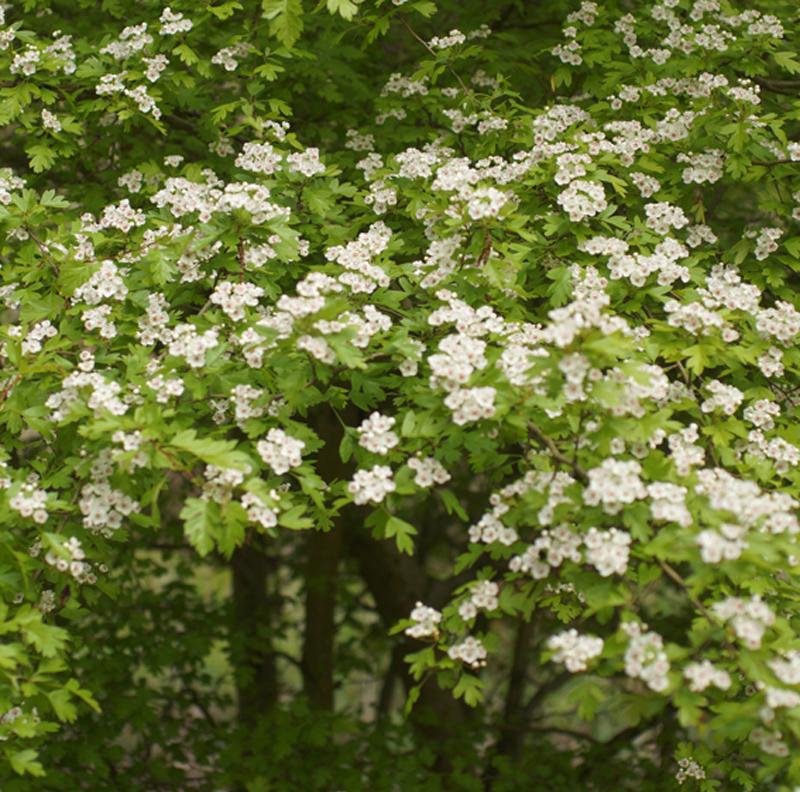 Meidoorn in volle bloei