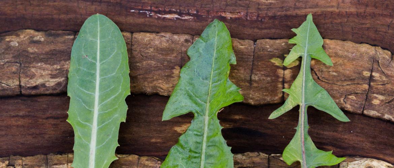 Paardenbloem bladeren eten - Geneeskracht op je bord
