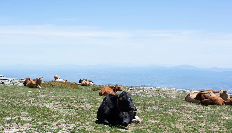 Grazende koeien op de Serra da Estrela