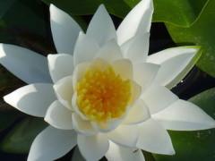 Witte Lotus groot