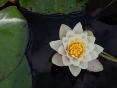 Witte Lotus klein