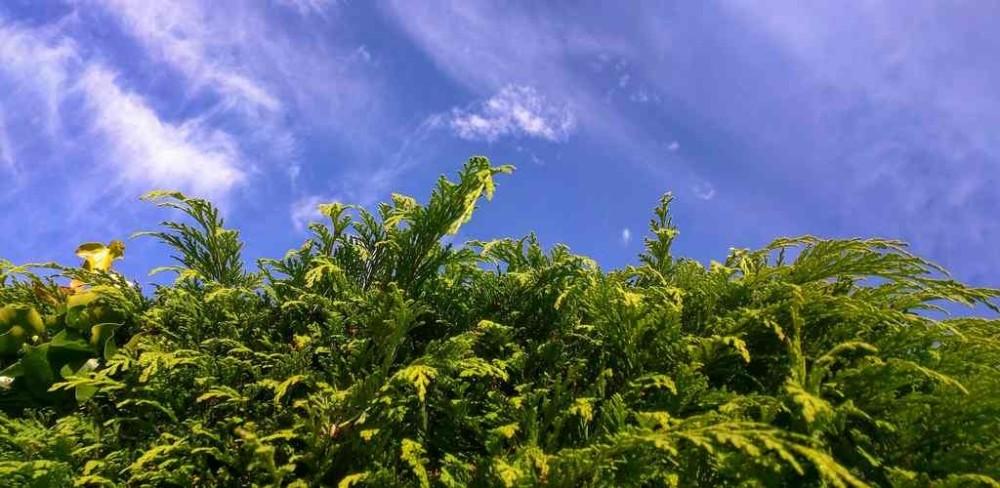 levensduur schutting coniferen